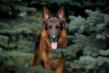 Dog breed German shepherd, autumn, portrait against a blue spruce