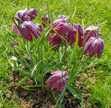 Fritillaria meleagris known as leper lily, snake's head fritillary, chess flower, frog-cup, Lazarus bell, chequered lily, chequered daffodil, drooping tulip, guinea-hen or guinea flower