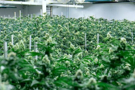 Marijuana Grow Facility California