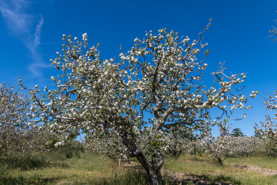 White blooms are on a gnarly gravestein apple tree outlines by a blue sky in the background. More blooming apple trees are on the sides and background.