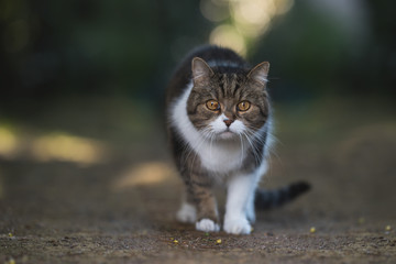 Cat standing in garden looking at camera - british shorthair cat on the hunt