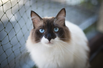 ragdoll cat sitting on balcony in front of cat safety net looking at camera