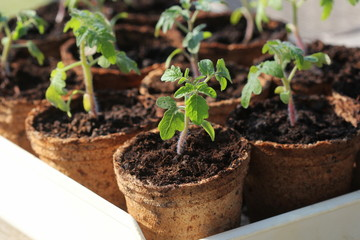 Obraz Young tomato seedling sprouts in the peat pots. Gardening concept. - fototapety do salonu