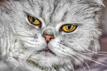 Dieses einzigartige Bild zeigt eine Chinchilla-Perserkatze namens Lucy. Sie können ihre schönen Augen deutlich sehen