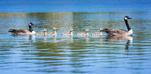 Canada goose family swimming in blue water