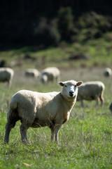 Sheep grazing in a field in New Zealand