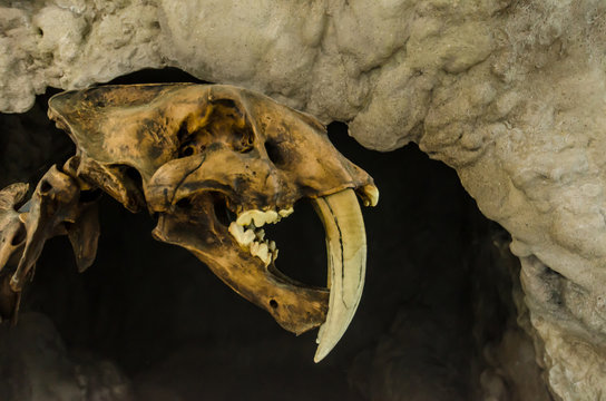 Extinct smilodon tiger FOSSIL