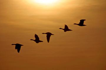 Fliegende Gänse in der Abendsonne