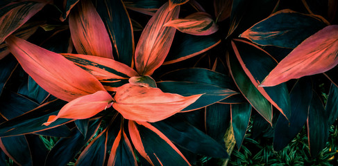 Leaf or Cordyline fruticosa leaves colorful vivid tropical nature background