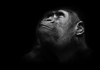 Poster de jardin Singe Serious big monkey look. An adult female gorilla with a serious expression smiles sideways, close-up, Isolated black background