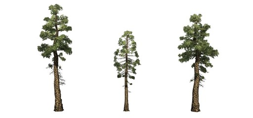 Set of Douglas Fir trees - isolated on a white background