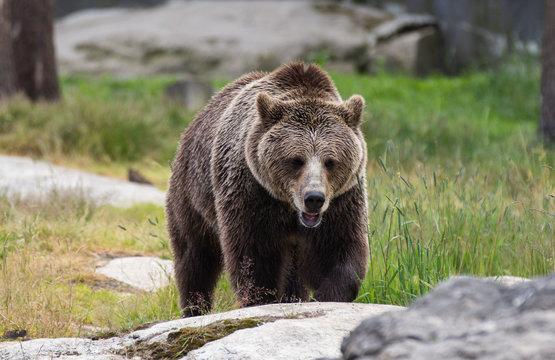 Closeup portrait of huge adult brown bear looking at you. Ursus arctos beringianus. Kamchatka bear.