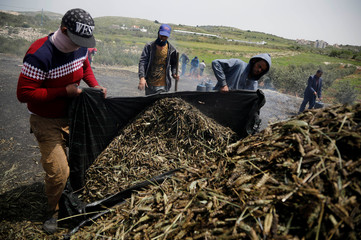 Palestinian workers sort wheat spikes in the process of making freekeh, a Middle Eastern cereal dish, in Jenin in the Israeli-occupied West Bank