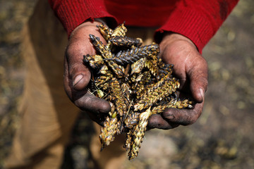 Palestinian worker shows burnt wheat spikes in the process of making freekeh, a Middle Eastern cereal dish, in Jenin in the Israeli-occupied West Bank