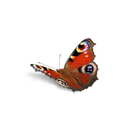Fototapeta Schmetterling 557 obraz