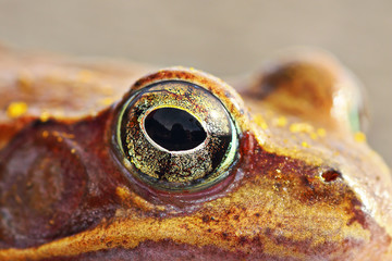 macro shot of frog eye