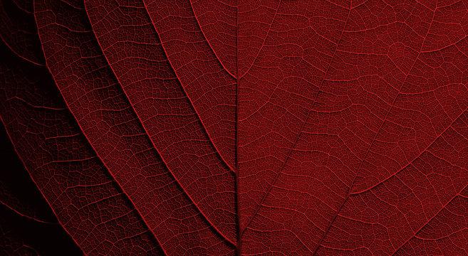 red leaf texture background ( teak leaf )