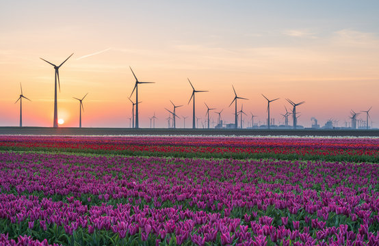 Field of tulips and wind turbines during sunrise in the Dutch countryside. Eemshaven, Groningen, Holland.