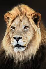 Fototapete - Male lion close up portrait fully alerted and focused. Fine art. Panthera leo