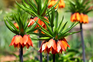 Crown imperial flower (Fritillaria imperialis) Wall mural