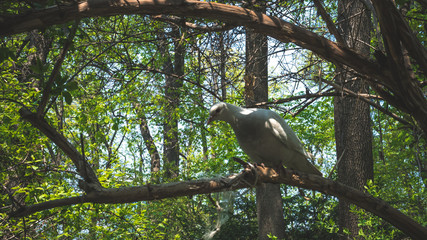 04.23.2019 - Kyiv, Ukraine. Botanical Garden in the center of the capital of Ukraine. Pigeons are sitting on a tree branch