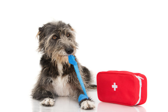 SICK DOG. INJURED AND FUNNY BLACK PUPPY LYING DOWN BITTING AND REMOVING A BLUE BANDAGE OR ELASTIC BAND ON FOOT, PAW AND A EMERGENCY  KIT.