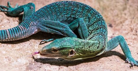 Foto auf Leinwand Chamaleon Jaszczurka, jaszczurki, gad, gady