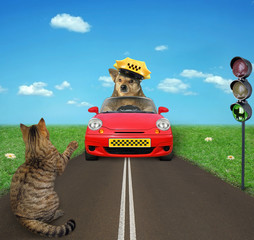 The dog taxi driver in a yellow cap in a red car drives past a cat at a traffic light.