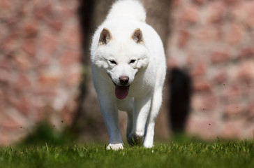 Wall Mural - hokkaido dog quickly runs