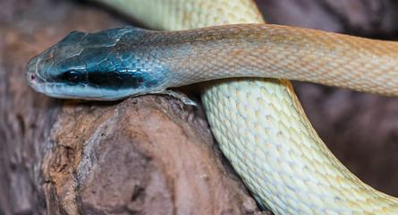 Wąż, boa dusiciel, Boa constrictor, sanke