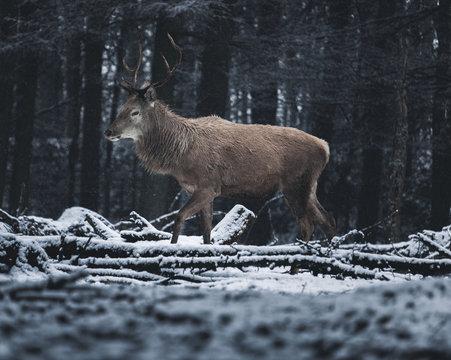 deer stands in snow