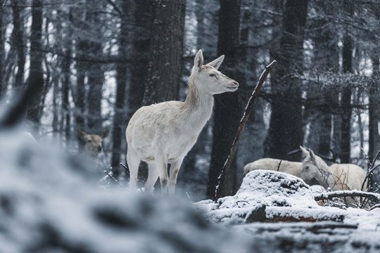 white deer in forest