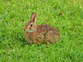 Fototapete - Cottontail Rabbit in the grass