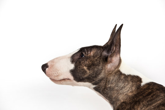 Dog breed mini bull terrier portrait on a white background in profile