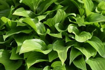 Closeup of green hosta leaves