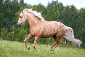 Free palomino horse runs in the field and forest
