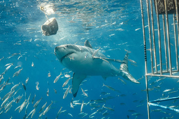 Cage Diving with Great White Shark in Isla Guadalupe, Mexico Wall mural