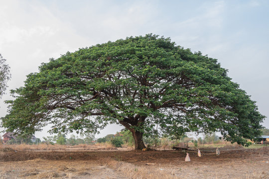 Selective focus giant Monkey pod tree in dried field.Also sometimes known as Samanea saman,Albizia Saman or the rain tree
