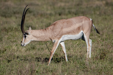 Spoed Foto op Canvas Antilope impala in serengeti national park tanzania africa