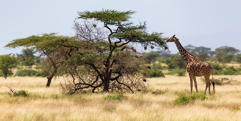 Giraffes eat leaves from the acacia trees