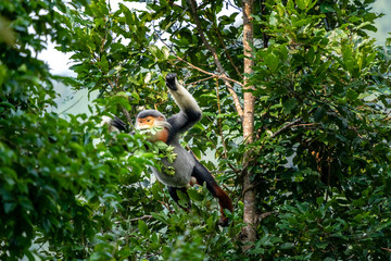 "Brown-shanked douc langur with a jumping on a tree, also known as pygathrix nemaeus or  "" Voọc "" . Rare animals in Son Tra peninsula, Da Nang, Vietnam"