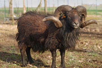 Black male ouessant sheep with great horns in the meadow  Wall mural