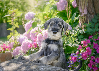 Standard Schnauzer puppy, 8 weeks old male dog, color salt-and-pepper wiry coat, in a flowering garden, this breed also known as Mittelschnauzer, Germany