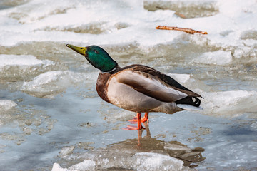 Male duck drinks water on the lake surface among the melting ice of the lake.