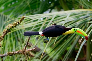 Keel billed toucan in flight