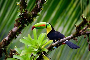 Deurstickers Toekan Keel billed Toucan in a tree