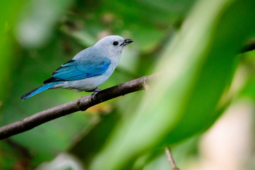 Blue grey tanager perched