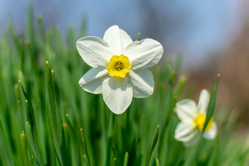 Door stickers Narcissus White daffodils blooming in spring on a sunny day