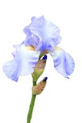 Fond de hotte en verre imprimé Iris Iris pallida flower plant cut out and isolated on a white background