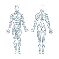 Human anatomy. Hand drawn human body anatomy. Male body muscular system sketch drawing. Part of set.